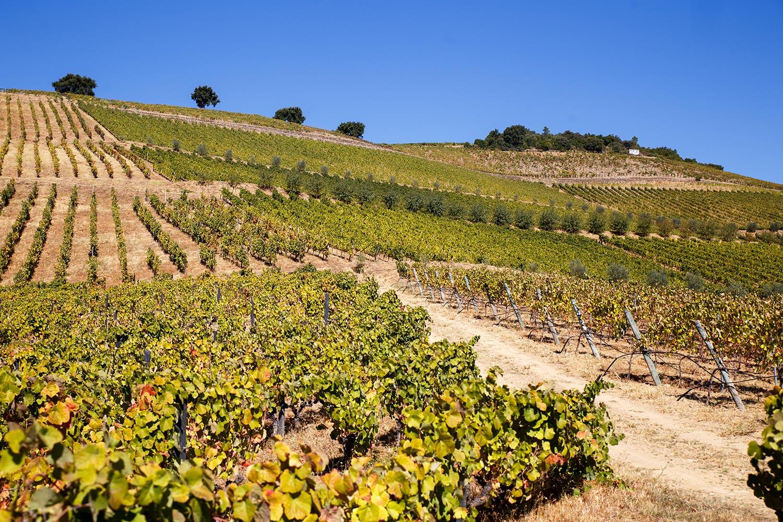 Terraces vineyards